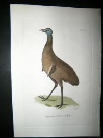 Shaw C1800's Antique Hand Col Bird Print. Dromiceus Emu Australia Native